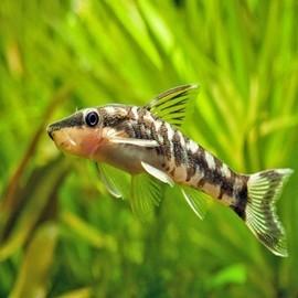 Peixes de Limpeza