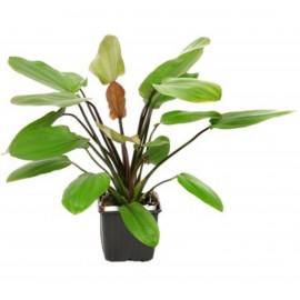 Tropica Plantas XL