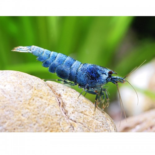 BLUE BOLT TAIWAN BEE SHRIMP