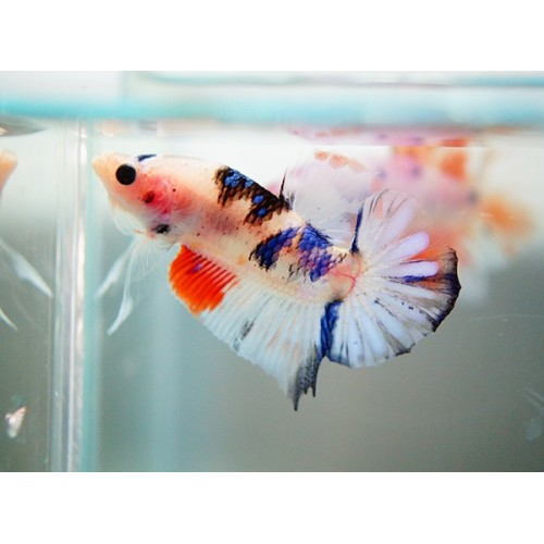 "BETTA SPLENDENS  MACHO ""KOI"""