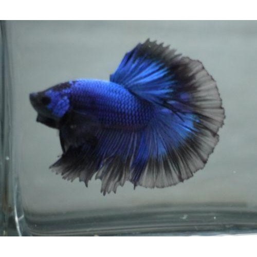 BETTA SPLENDENS MACHO CAUDA MEIA LUA