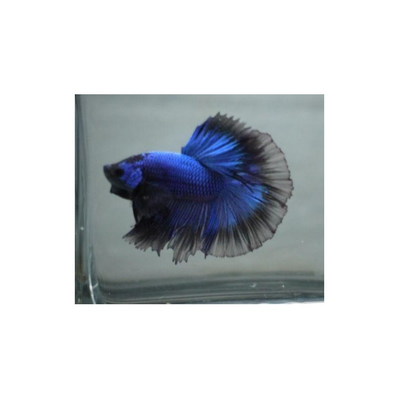 "BETTA SPLENDENS  ""HALFMOON"""