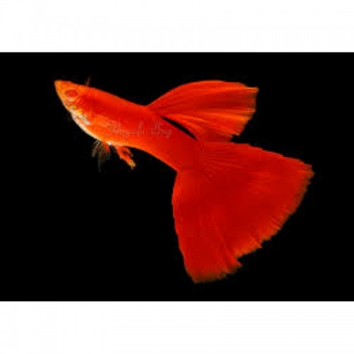 GUPPY MACHO FULL RED ALBINO (POECILIA RETICULATUS)