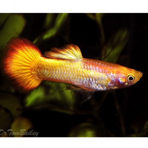 GUPPY MACHO SUNSET DOURADO BLOND (POECILIA RETICULATUS)