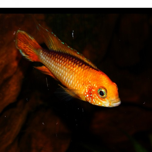 APISTOGRAMMA AGASSIZI RED FIRE MACHO
