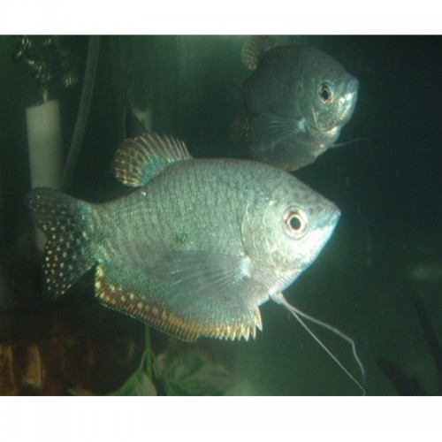 GOURAMI PLATINA (TRICHOGASTER MICROLEPIS)
