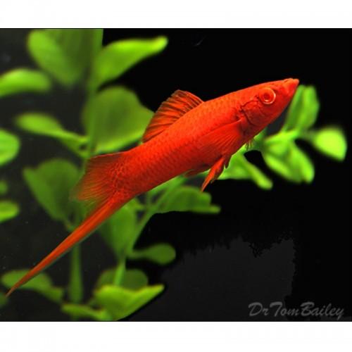 ESPADA DOUBLE RED (XIPHOPHORUS HELLERI)