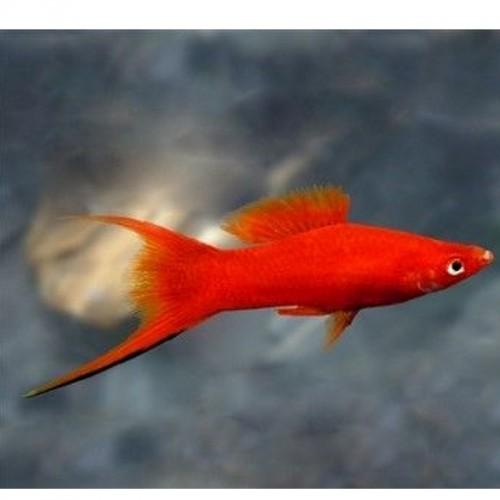 ESPADA DOUBLE RED WAGTAIL (XIPHOPHORUS HELLERI)