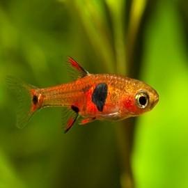 Peixes para Nanos
