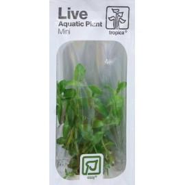 TROPICA LIVE AQUATIC PLANT MINI