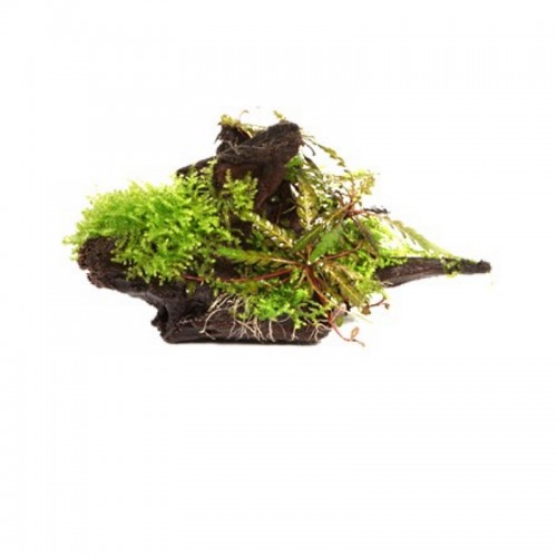 HYGROPHILA PINNATIFIDA AND MOSS 0N WOOD