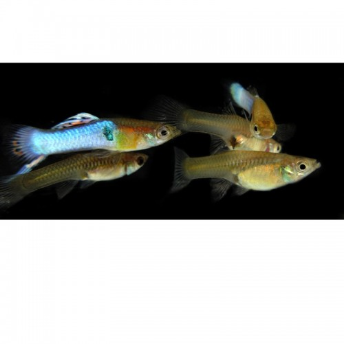 ENDLER BLUE JAPAN(CASAL)