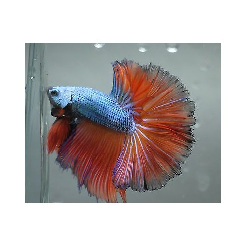 BETTA SPLENDENS HALFMOON MACHO CAT. A