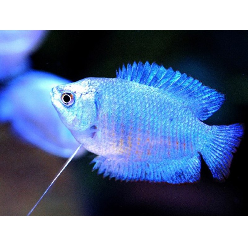 COLISA LALIA MACHO AZUL ROYAL