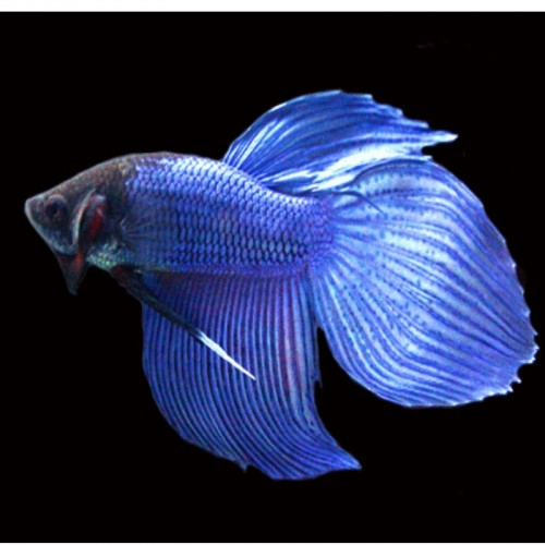 BETTA  SPLENDENS MACHO