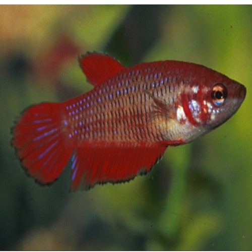 BETTA  SPLENDENS FÊMEA