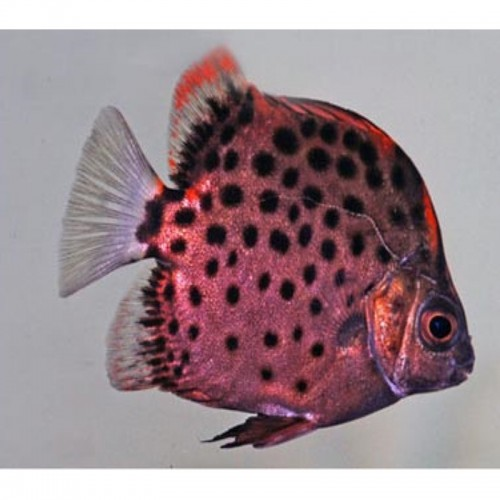 SCATOPHAGUS RUBRIFONS