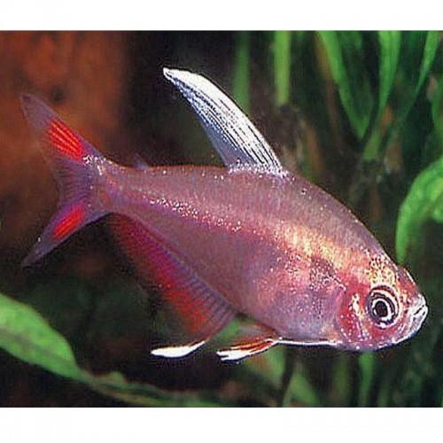 Tetra Rosy de barbatana branca (HYPHESSOBRYCON ORNATUS)