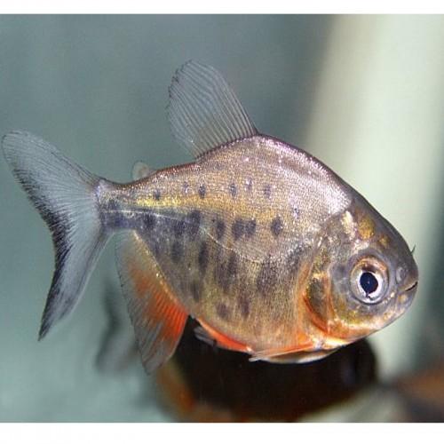 COLOSSOMA BRACHYPOMUM (7-8cm)