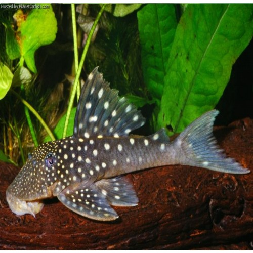 L128 HEMIANCISTRUS SP BLUE PHANTOM (5-6 cm)
