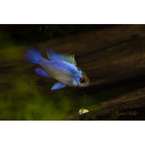 "MIKROGEOPHAGUS RAMIREZI ""ELECTRIC BLUE"" 3.5 - 4cm"