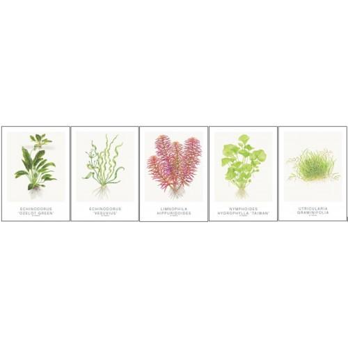 Art Cards 13x18cm (incl Echinodorus)
