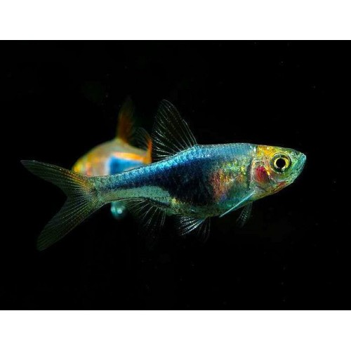 RASBORA PURPLE HEAD