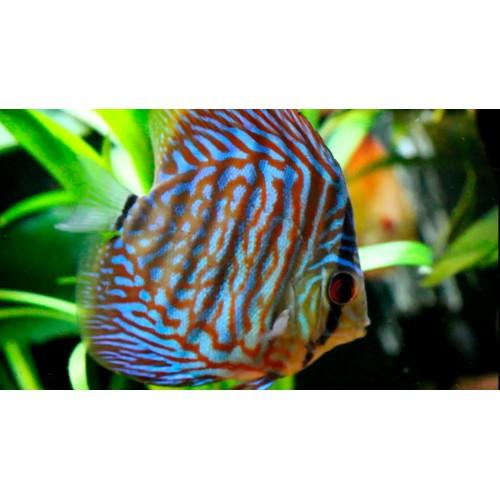 Discus Azul Turquesa 6.5-7.5cm