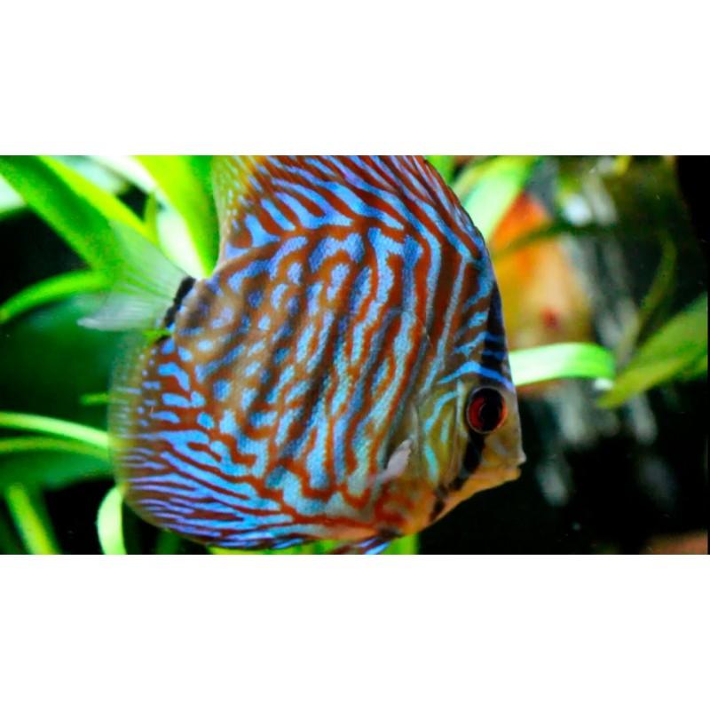 Discu Azul Turquesa 5-6cm