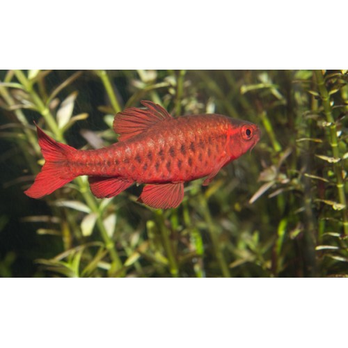 Puntius titteya Super Red (casal)