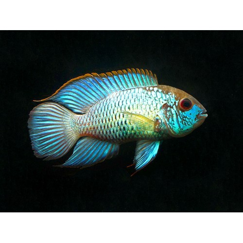 Andinoacara pulcher electric blue