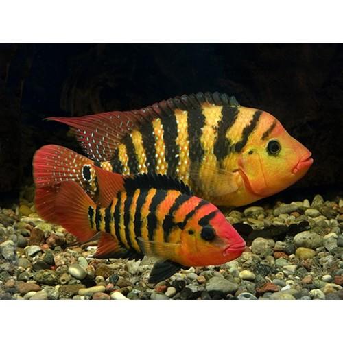 Cichlasoma festae (Red Terror) - 3.5 a 4cm
